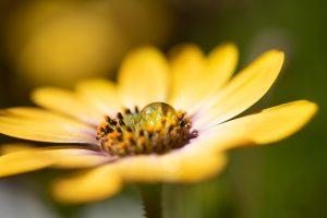 goutte sur une fleur